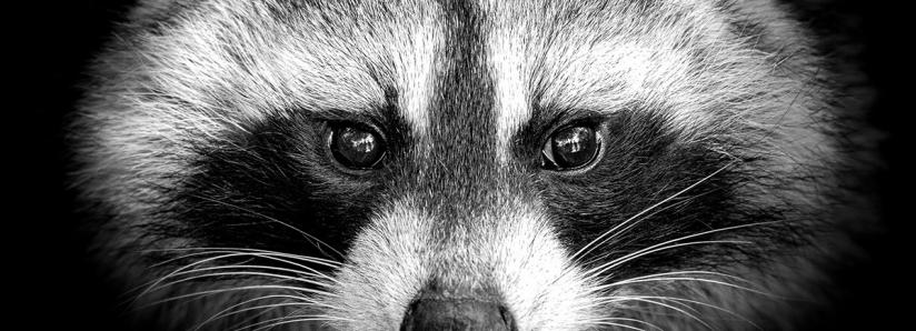 """Beware of the """"Raccoon"""" malware trying to steal your crypto, all web browsers are affected"""