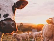 In a post-COVID world, Australia turns to blockchain for protecting $7 billion beef export industry