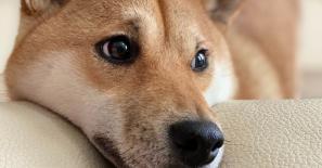 Binance lists 'Dogecoin killer' Shiba Inu (SHIB) and its perpetual futures