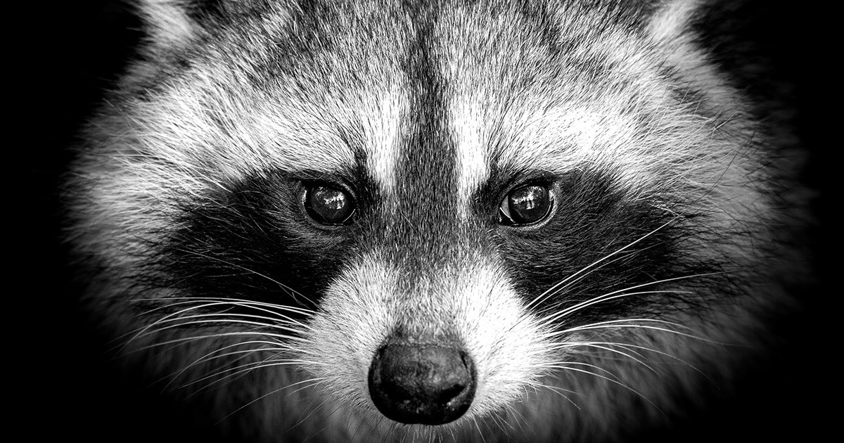 "Beware of the ""Raccoon"" malware trying to steal your crypto, all web browsers are affected - CryptoSlate"