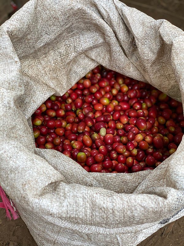 a batch of coffee cherries