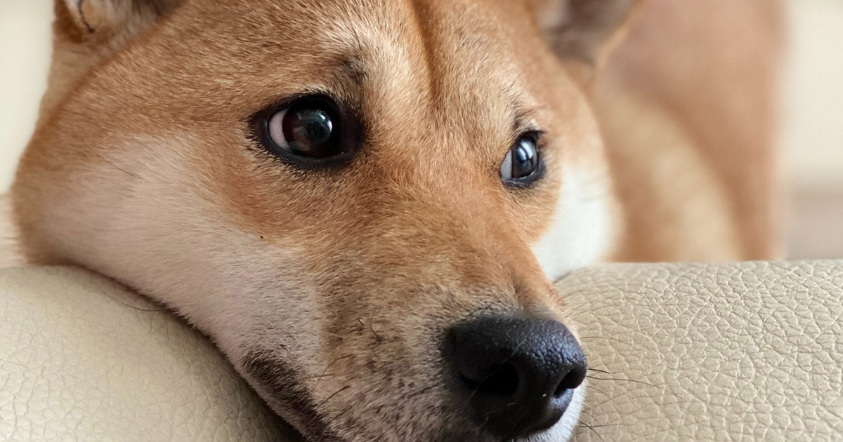Binance lists 'Dogecoin killer' Shiba Inu (SHIB) and its perpetual futures thumbnail